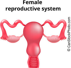 samičí, rozmnožovací, system., ilustrace, anatomie, lidský