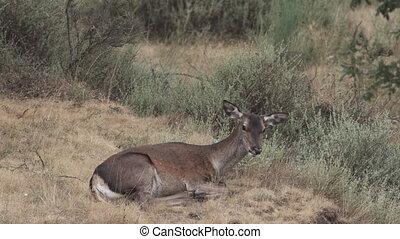 samica, jeleń, cyganiąc na dół, żucie, i, ruchomy, kłosie,...