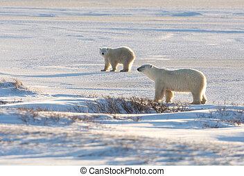 samica, polarny miś, i, szczeniak
