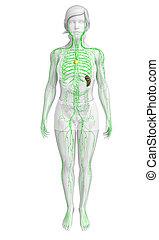 samica, system, limfatyczny, ciało