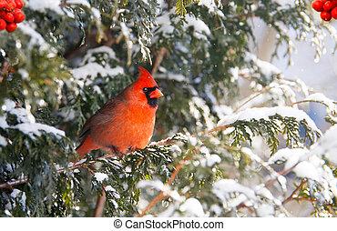 samiec, północny, cadinal, w, winter.