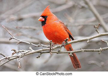 samiec, północny kardynał