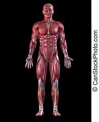 samiec, system, muskularny