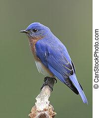 samiec, wschodni bluebird