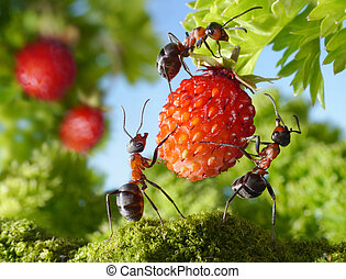 samling, myror, teamwork, jordgubbe, lag, lantbruk