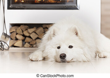 samoyed, 暖炉, 犬