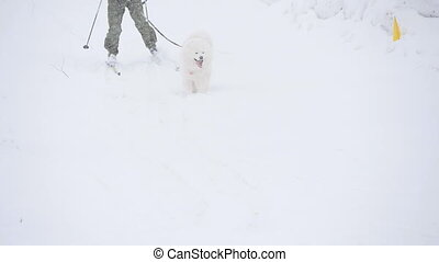 Samoyed and skiers will finish in the race - Samoyed sled...