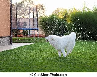 samoyed, buiten, dog