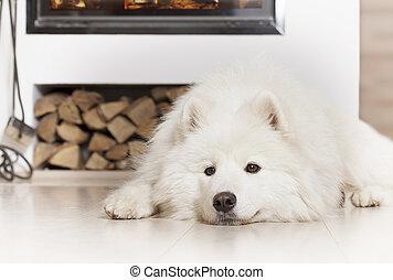 Samoyed dog by fireplace - Samoyed dog lying on a floor at...