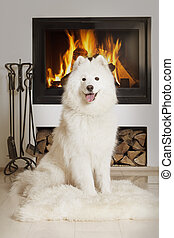 Samoyed dog by home fireplace