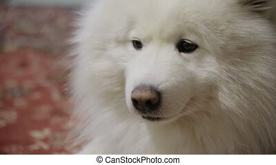 Samoyed dog close-up portrait