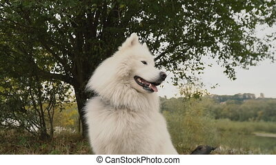 Samoyed dog in park - Samoyed breed dog walks in the park