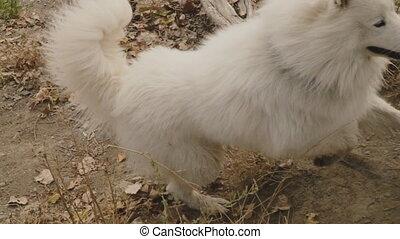 Samoyed dog in park - Samoyed breed dog walks in the park