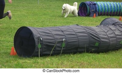 Samoyed dog is coming out of one tunnel and getting inside...