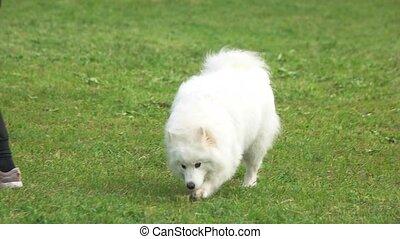 Samoyed dog is walking in slow-motion. - Samoyed dog is...