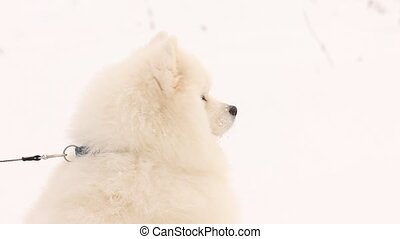 samoyed dog  - Samoyed dog head view profile