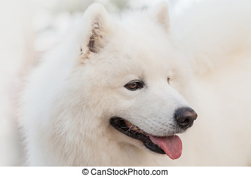 Samoyed dog - The Samoyed breed is also commonly known by...