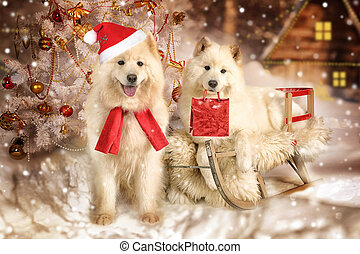 Samoyed dogs in Christmas interiors - Samoyed dog lying on a...