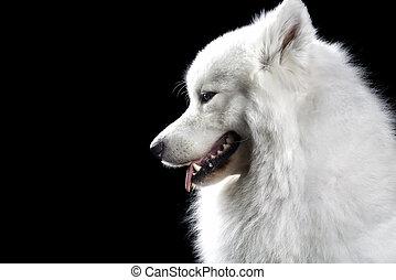 samoyed, hund, auf, schwarz