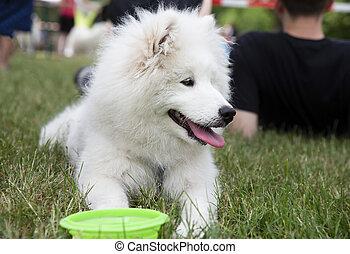 samoyed, hund, ende, weißes, gras