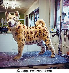 samoyed, hund pflegend, tisch.