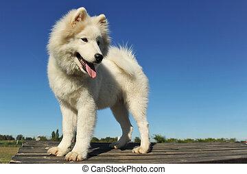 samoyed, junger hund, hund