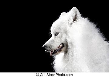 samoyed, schwarzer hund