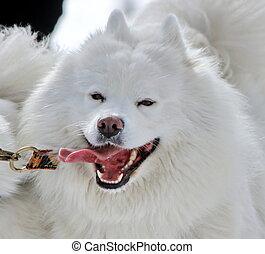 Samoyede dog running