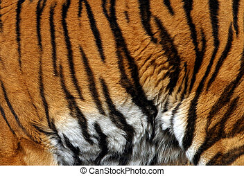 Sample of a tiger - images sample of a tiger