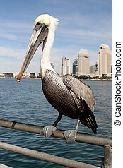 San Diego Pelican - Grey pacific pelican with blue sky and...