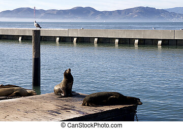 SAN FRANCISCO, CALIFORNIA, UNITED STATES - NOV 25th, 2018: Seal or sea lions at the Pier 39 of San Francisco with beautify view of Golden Gate Bridge in background. Pier 39 is a shopping center and popular tourist attraction built on a pier