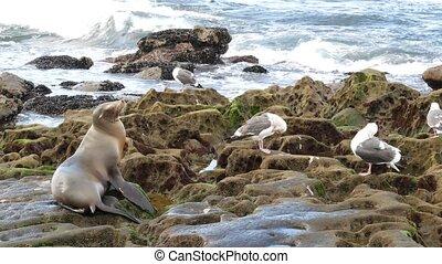 san, la, vie sauvage, protégé, californie, pacifique, mammifère, reposer, jolla., marin, lion, eared, lazing, océan, plage., mer, rigolote, diego, cachet, naturel, stone., sauvage, habitat, rocher, animal, usa