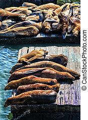 san, pêcheur, 39, quai, lions, mer, californie, francisco,...