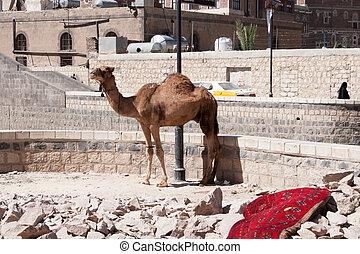 sanaa, yemen, uppe, bundet, kamel