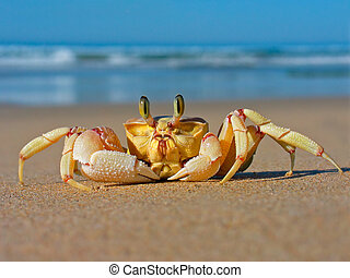 Alert sand crab on beach, southern Africa