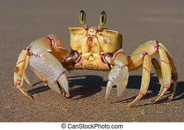Sand crab - Alert sand crab on sandy beach, southern Africa