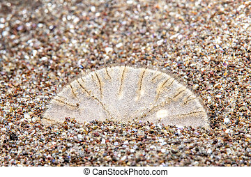 Sand dollar in nature