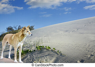 sand dunes and dingo on fraser Island - sand dunes and dingo...