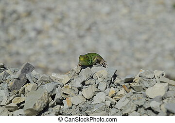 Sand lizard. An ordinary quick green lizard. Lizard on the...