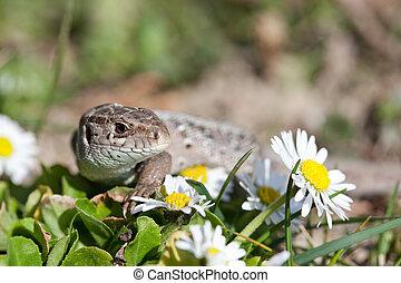 sand lizard in close up (Lacerta Agilis)
