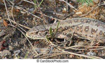 Sand Lizard (Lacerta agilis) - Female sand lizard (Lacerta...