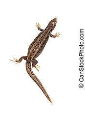 Sand lizard (Lacerta agilis) on a white background - Sand...