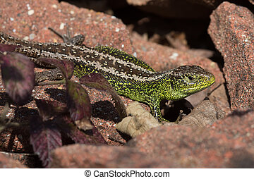 Sand Lizard (Lacerta agilis) - Sand Lizard basking on red...