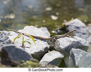 Sand lizard - Lacerta agilis - Sand lizard on stones -...