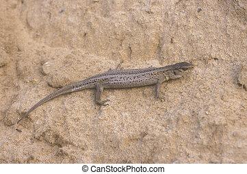 Sand lizard, Lacerta agilis, single female on sand, Poland