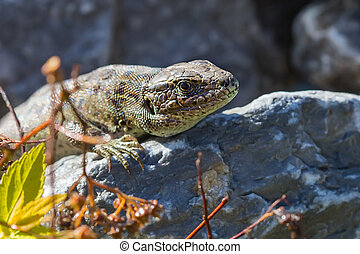 Sand lizard ( lat. Lacerta agilis ). Lizard on the stone
