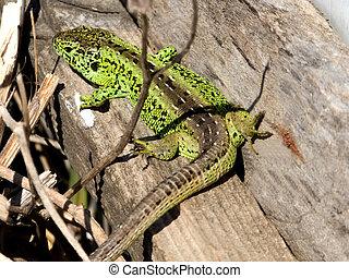 sand lizard, male reptile