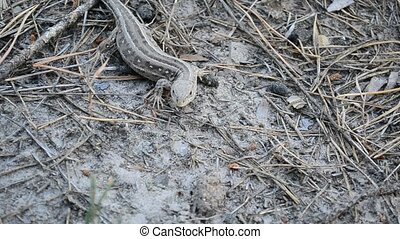 Sand lizard on ground in forest - Lacerta agilis. Sand...