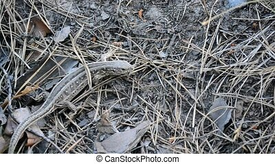 Sand lizard on ground in forest moving abruptly from time to...