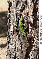 Sand lizard. The male lizard in breeding green color. - Sand...